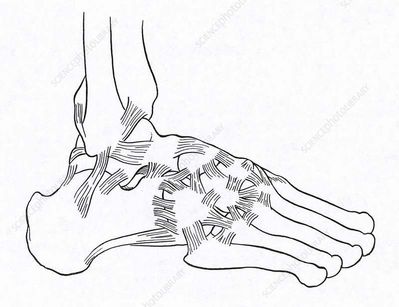 Major Ligaments of the Foot