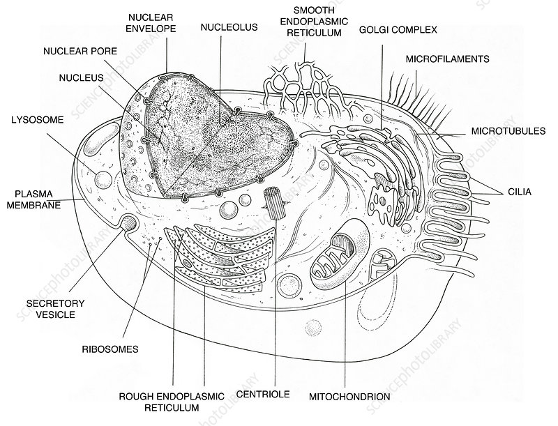 animal cell diagram - stock image c022  1011