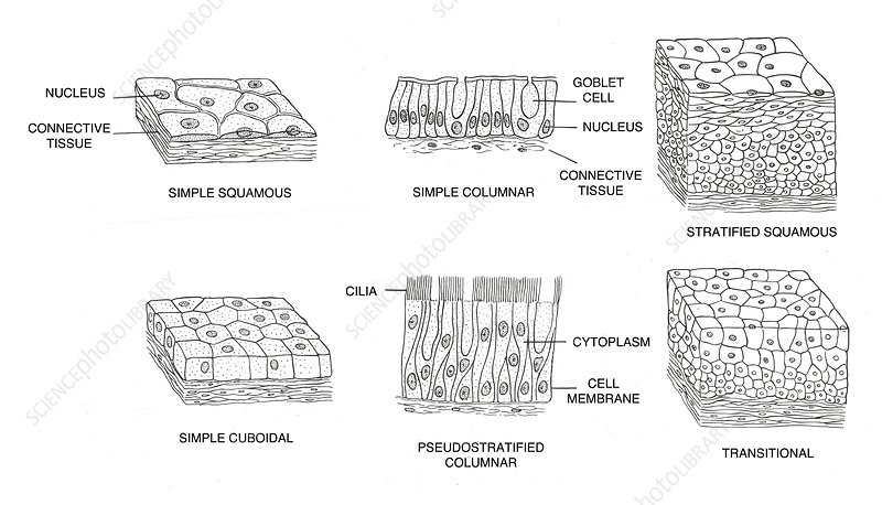 Types of Epithelial Cells