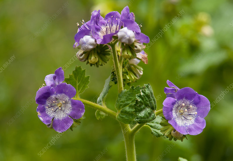 Largeflowered Phacelia