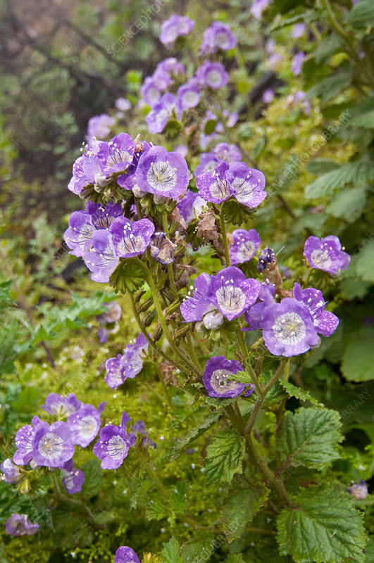Largeflower Phacelia