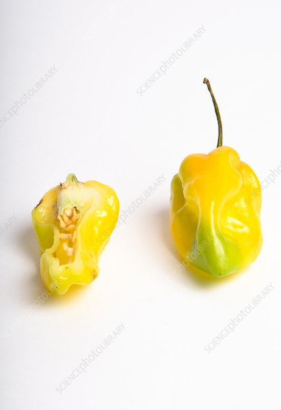 Habanero Chili Pepper