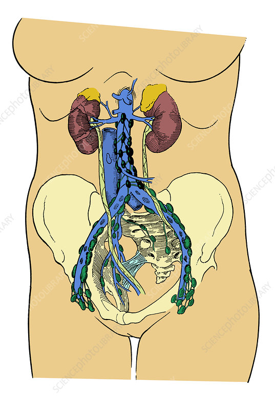 Lower Lymph System