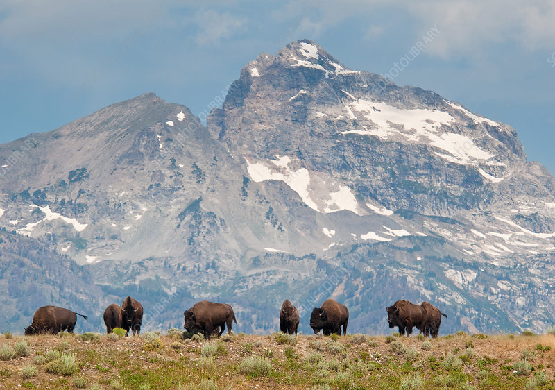 Bison at Grand Tetons