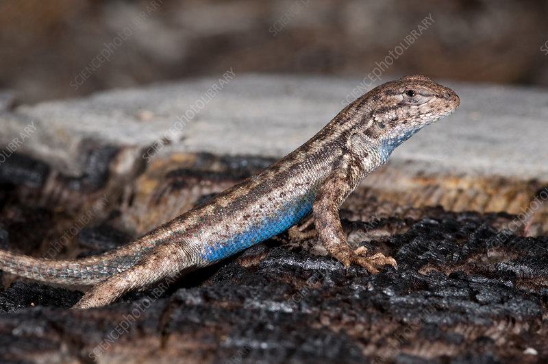 Sagebrush Lizard