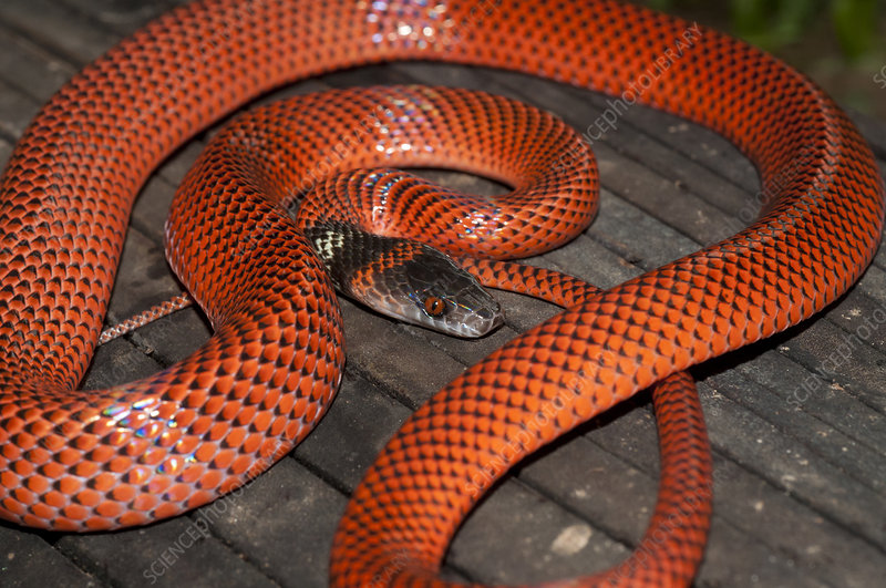 Black-headed calico snake