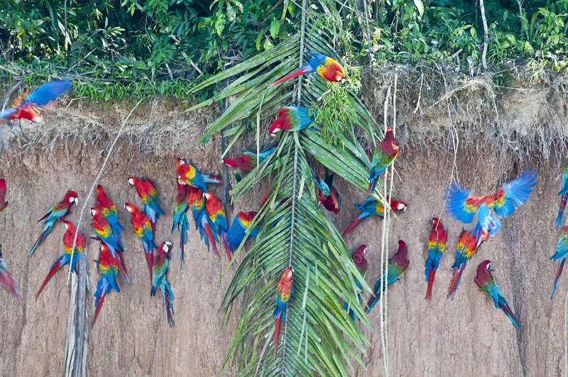 Red-and-green macaws at clay lick
