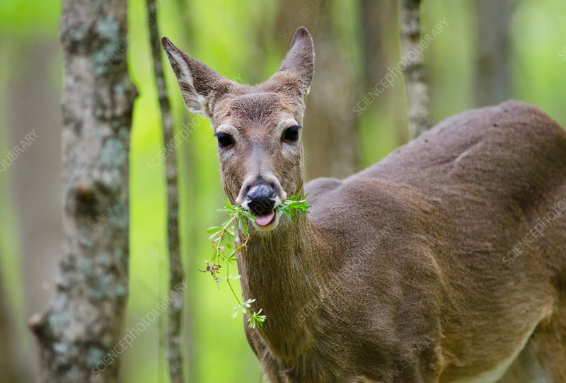 White-tailed Deer Eating
