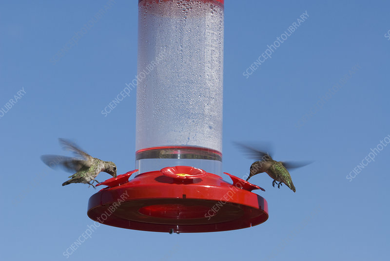 Anna's hummingbirds at feeder