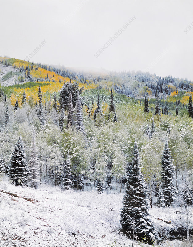 Fresh Snow and Quaking Aspen