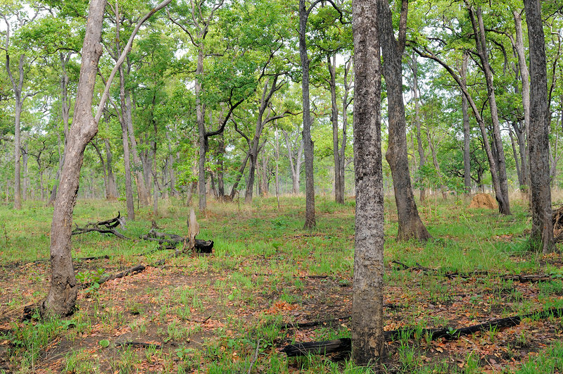 Dry Cambodian Deciduous forest