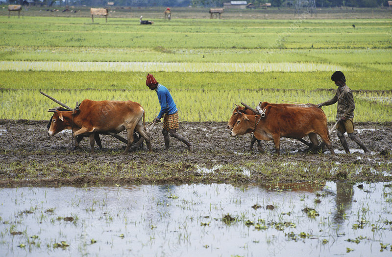 Ploughing of Rice Fields, India