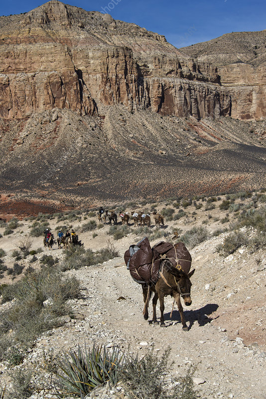 Mule Pack Train, Grand Canyon