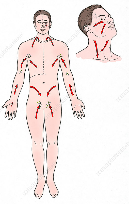 Direction of Lymph Flow, Illustration