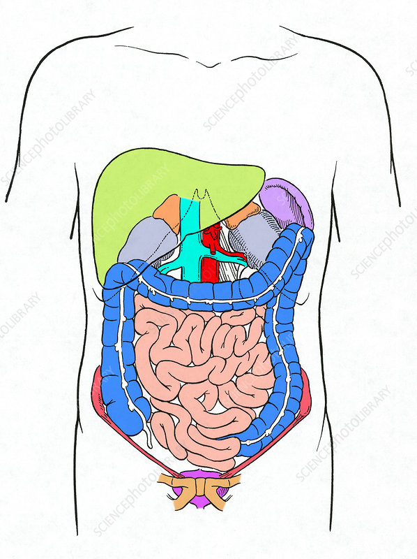 Digestive System, Illustration