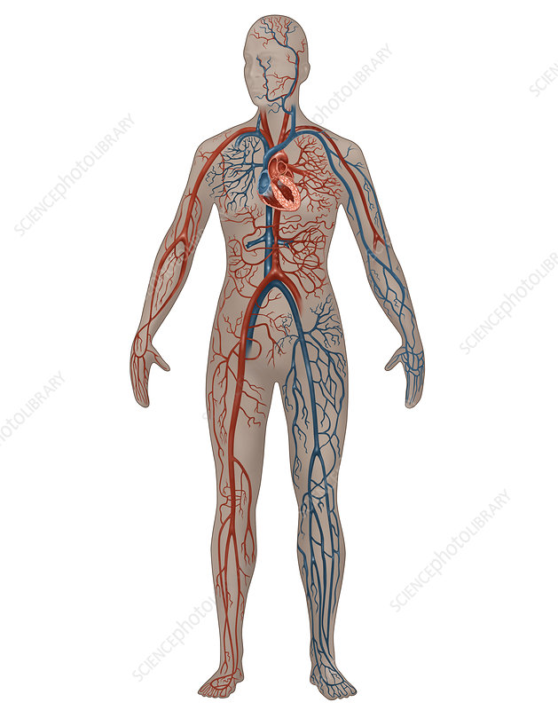 Circulatory System, Female, Illustration