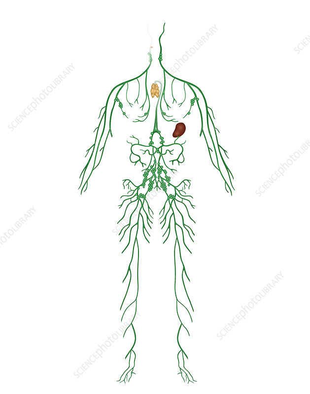 Lymphatic System, Illustration