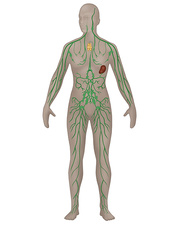 Lymphatic System, Female, Illustration