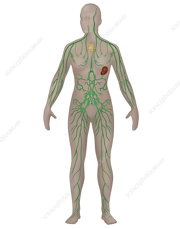 Lymphatic System, Female, Illustration - Stock Image C027/6792 ...