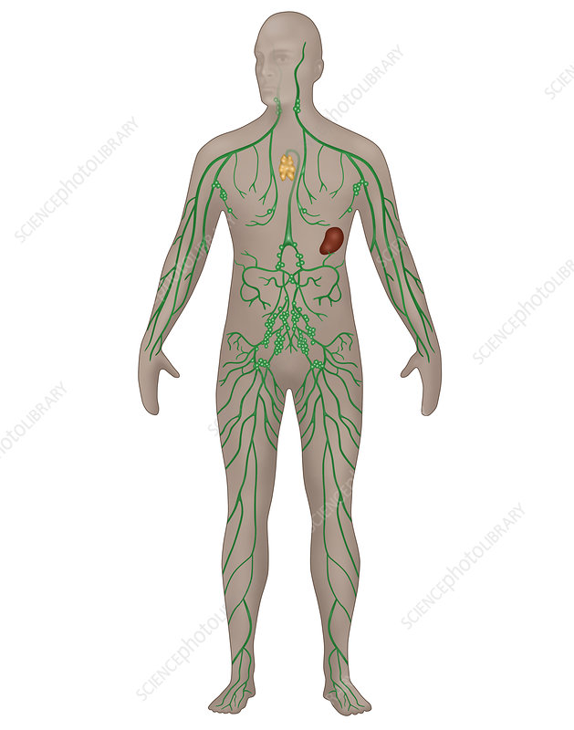 Lymphatic System, Male, Illustration