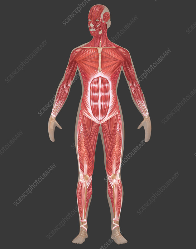 Muscular System, Female, Illustration