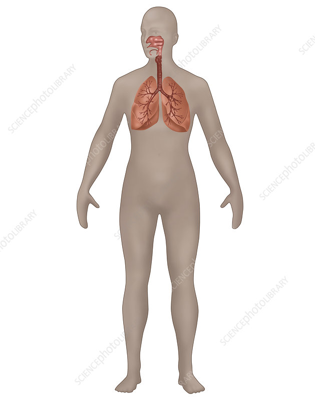 Respiratory System, Female, Illustration