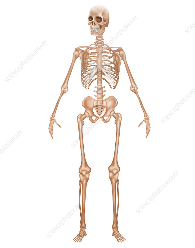 Skeletal System, Illustration