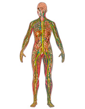 All Body Systems, Female, Illustration