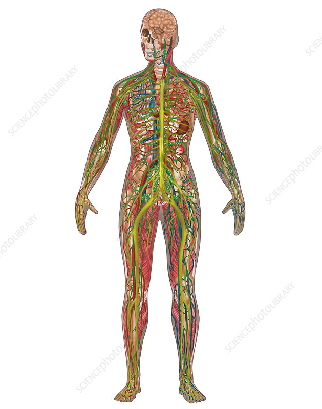 5 Body Systems, Female, Illustration
