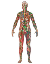 4 Body Systems, Female, Illustration