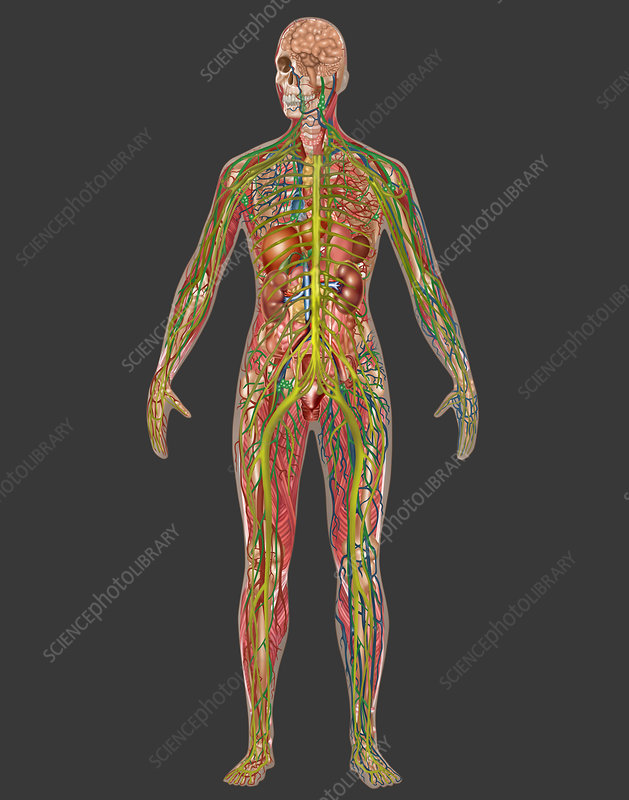 All Body Systems, Female, Illustration - Stock Image C027/6914 ...