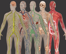 5 Body Systems, Male, Illustration