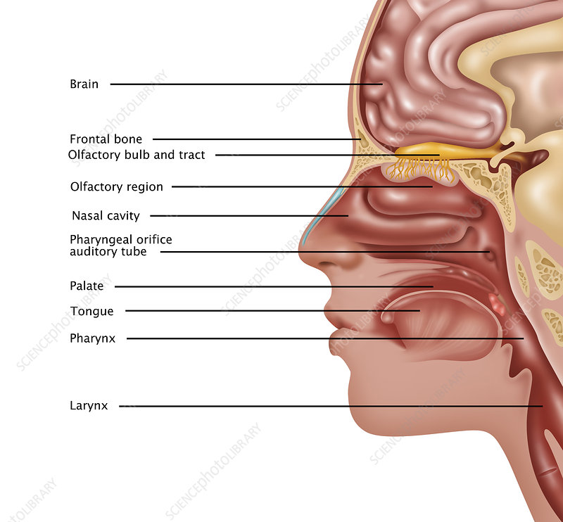 Anatomy Of Smell Illustration Stock Image C0276956 Science