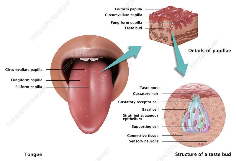 Anatomy of Taste, Illustration - Stock Image C027/6964 - Science ...