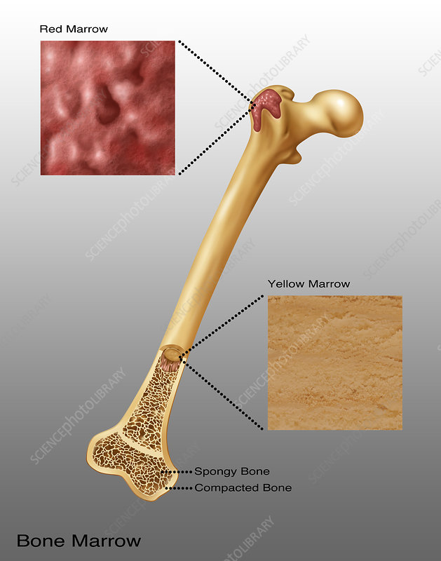 Bone Marrow, Illustration