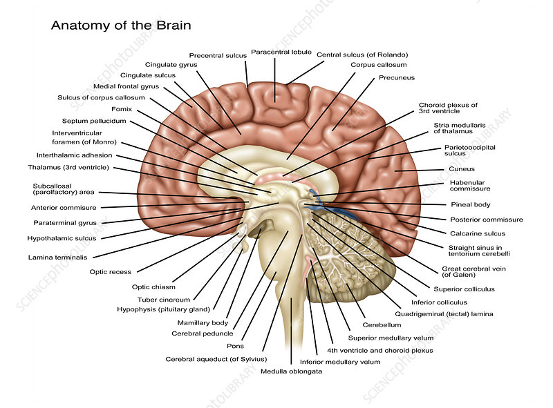 Brain Anatomy, Illustration
