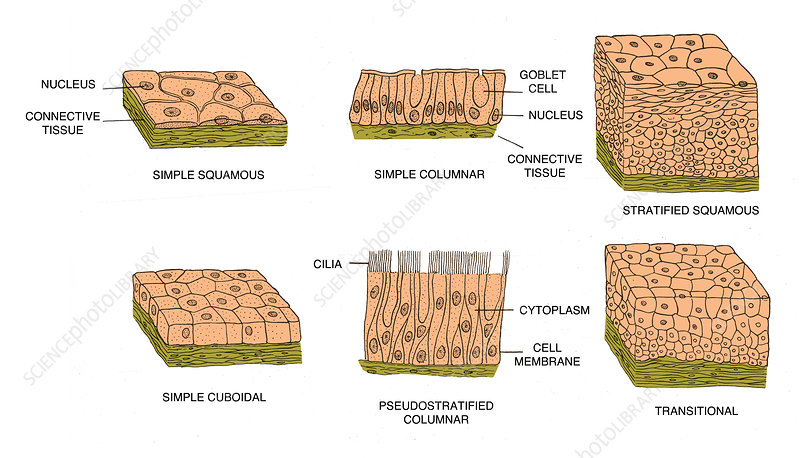 Types of Epithelial Cells, illustration