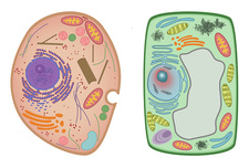 Animal Cell and Plant Cell, illustration