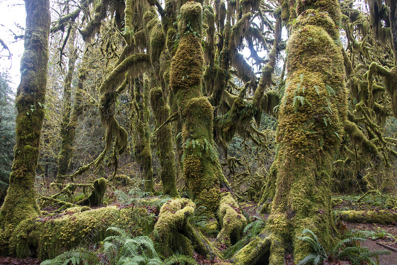 Hoh Rainforest, Olympic National Park, WA