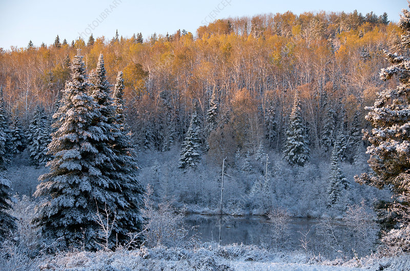 Aspen and Spruce in Snow