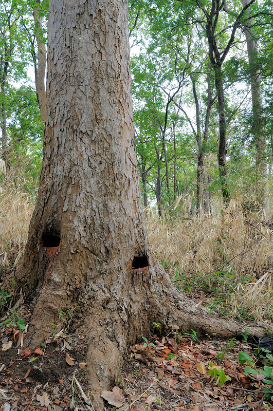 Endangered Tree Tapped for Resin