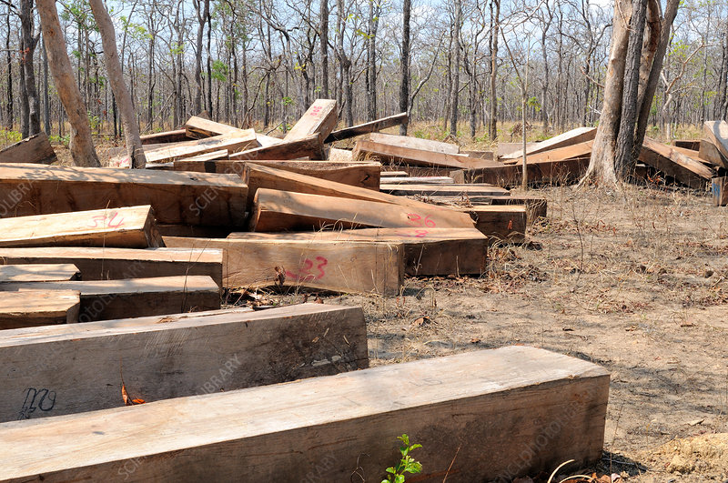 Illegal Hardwood Logging