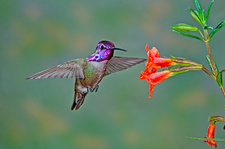 Costa's Hummingbird at flower