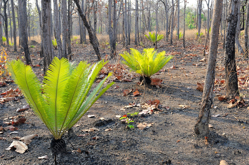 Cycads after Fire