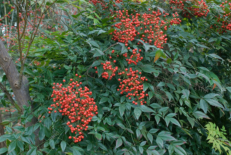 Nandina in fruit, Nandina domestica