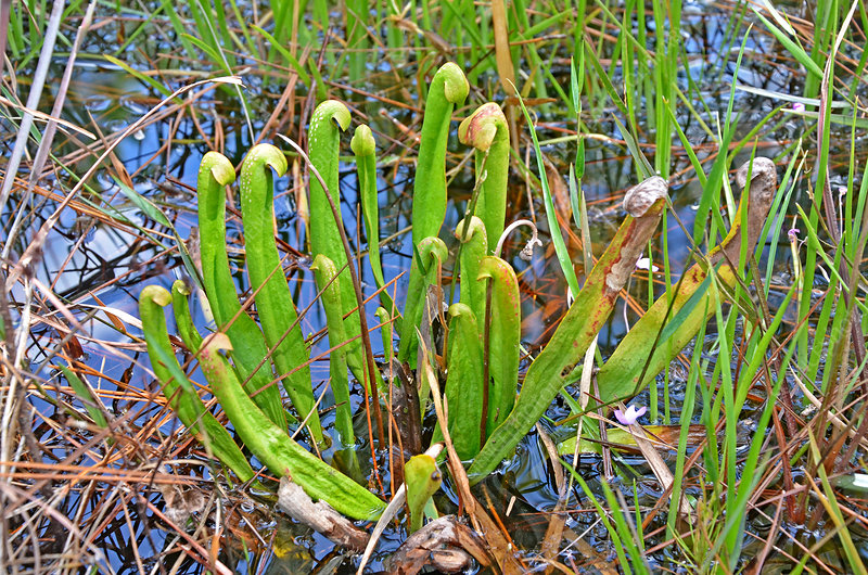 Hooded Pitcher Plant
