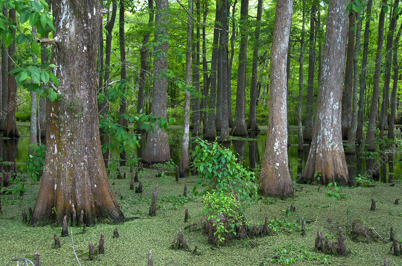 Louisiana Cypress Swamp