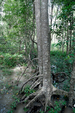 Mangrove with Stilt Roots