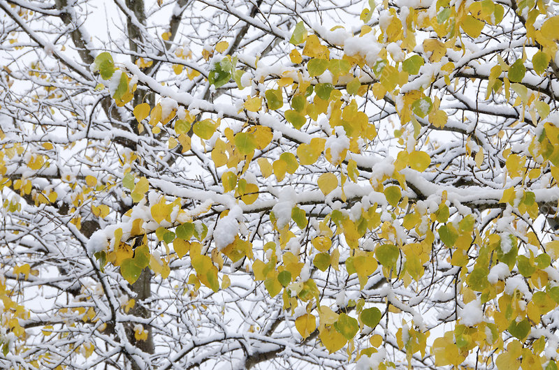 Snow on Autumn Aspen Tree