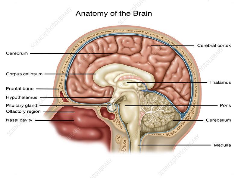 Anatomy Of Brain Illustration Stock Image C0305638 Science